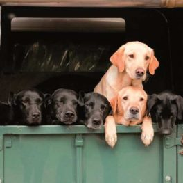 Labs In Landy Greeting Card